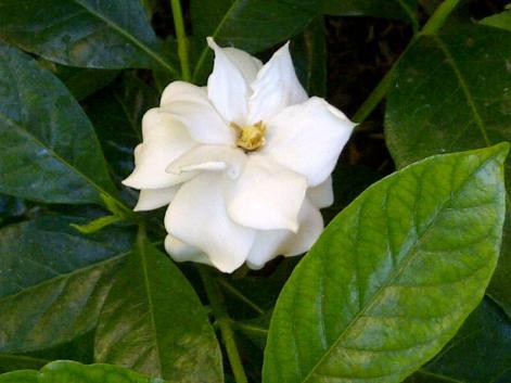 La primer gardenia de mi jardín