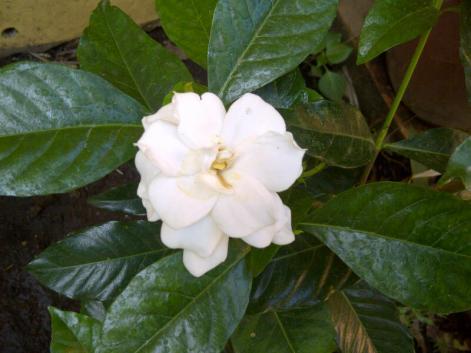 La segunda gardenia de mi jardín